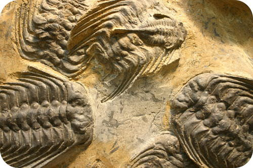 Fossils of trilobites, which lived in the lower Paleozoic