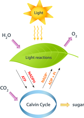 photosynthetic reaction with red light pdf