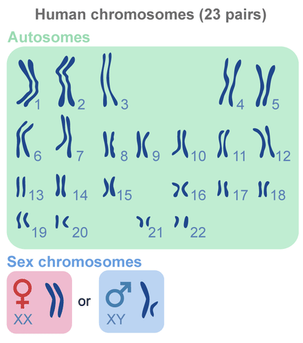 Karyotype, showing 23 chromosomes