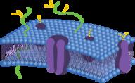 Phospholipid Bilayers