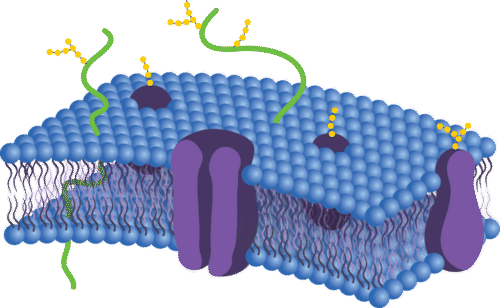 The Plasma Membrane - Advanced