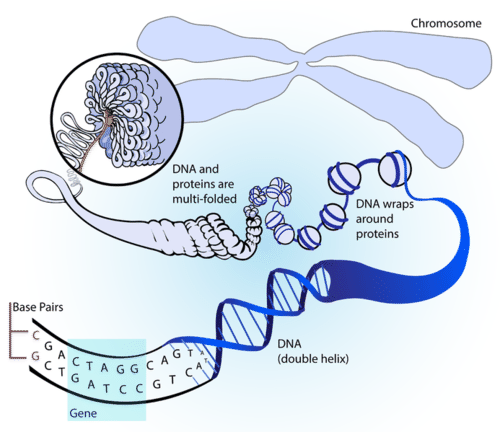 How DNA folds into chromosomes
