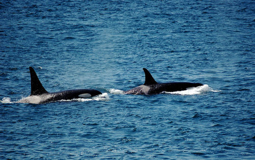 Two groups of orcas may live in the same part of the Pacific Ocean, but do not mate
