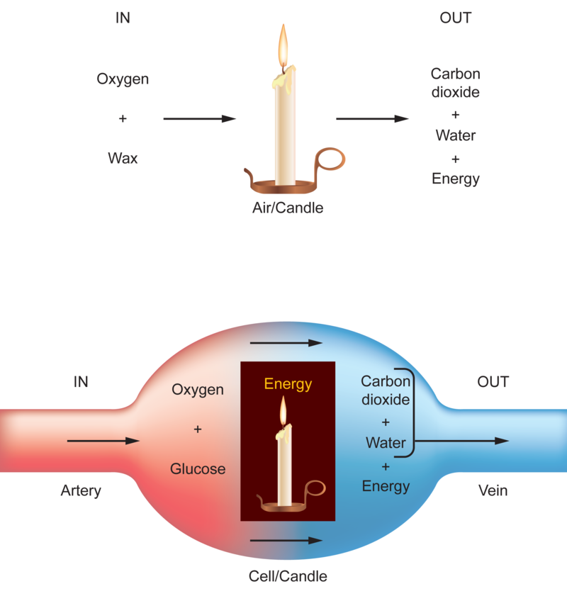 Oxygen Carbon Dioxide And Energy Ck 12 Foundation
