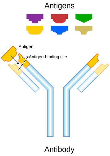 This diagram illustrates how an antibody binds to an antigen
