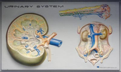 Urinary System Quiz - MS LS