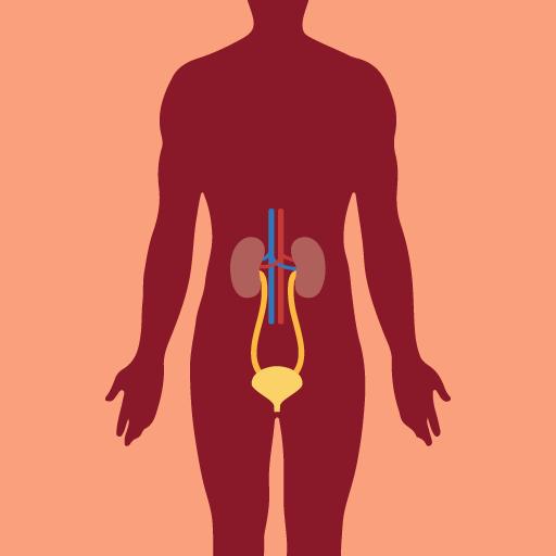 Urinary System   CK-12 Foundation