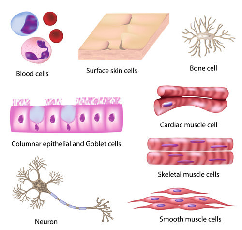 An illustration of different types of human body cells