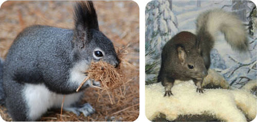 The Abert squirrel and Kaibab squirrel are from opposite sides of the Grand Canyon