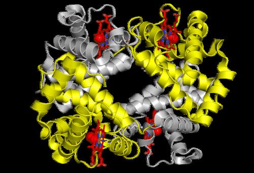 Ribbon diagram of hemoglobin