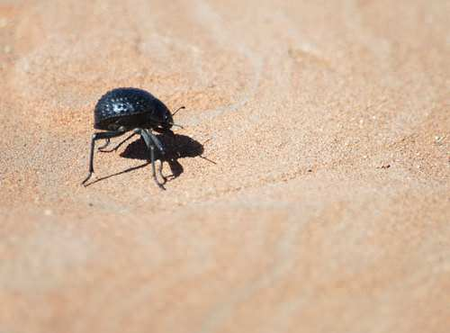 The Namib Desert Beetle has bumps on its back for collecting water