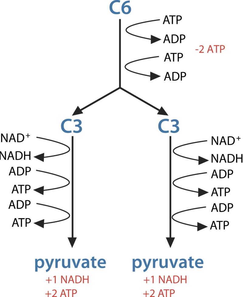 Glycolysis ck 12 foundation in glycolysis glucose c6 is split into two 3 carbon c3 pyruvate molecules this releases energy which is transferred to atp ccuart Images