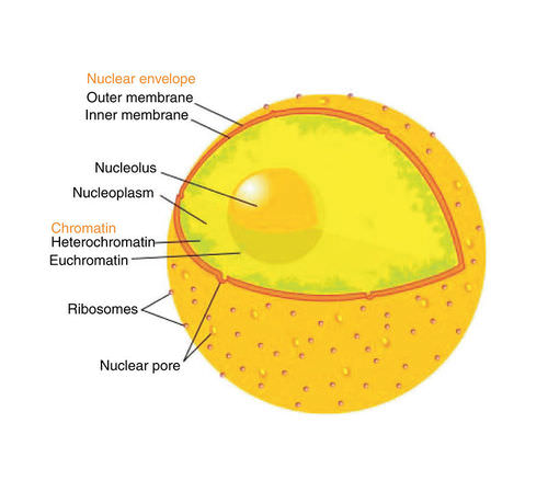 Organelles in a cell