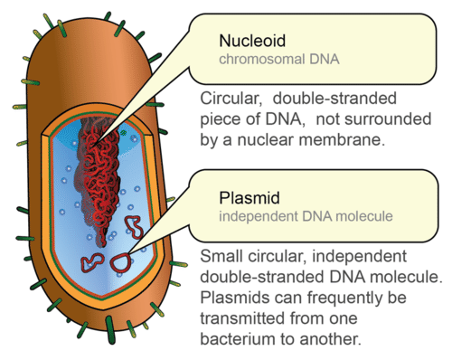 Location of prokaryotic DNA