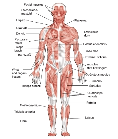 Muscular System Ck 12 Foundation