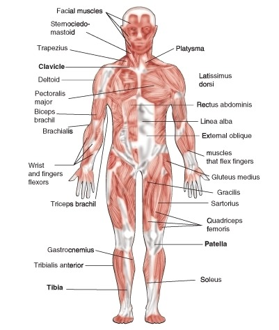 Skeletal muscles in the body