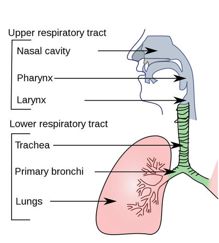Illustration of the organs of the respiratory system