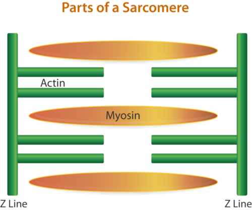 Parts of a sarcomere