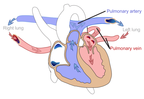 Pulmonary circuit illustrated