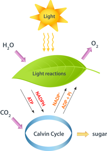 what is the role of the calvin cycle include the reactants and the products where does it occur Student learning goals  respiration (including reactants, products, basic functions and role of  summarize the main events of the calvin cycle 6.