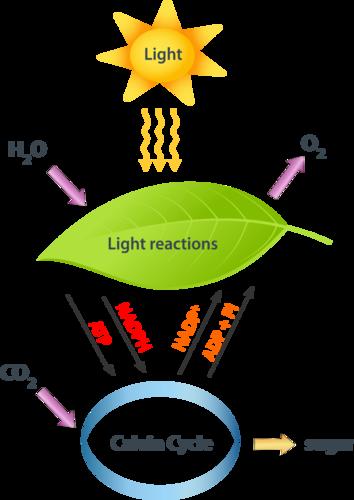 photsynthesis in plants
