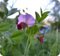 Pisum sativum: Pea Plant