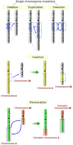 Mutations in chromosomes include deletion, duplication, inversion, insertion, and translocation
