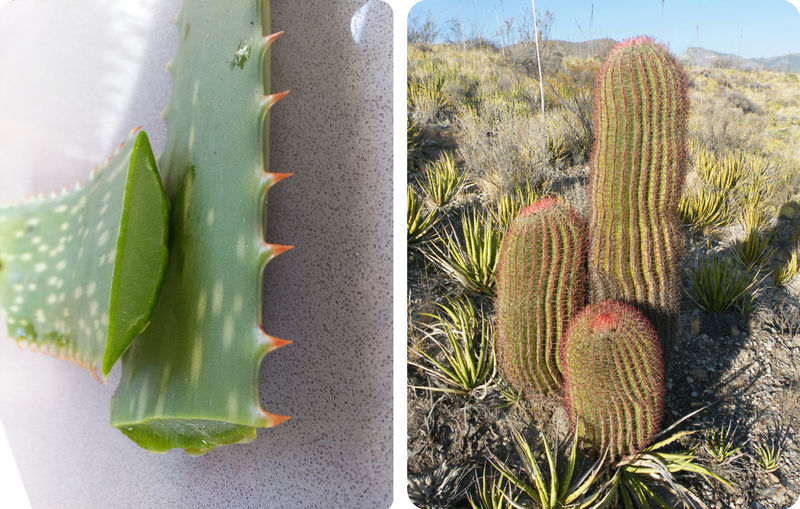 Aloe and cactus have special tissues for storing waters