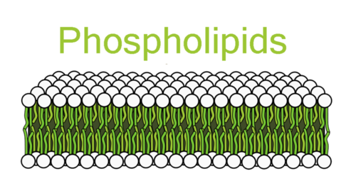 A membrane consisting of a phospholipid bilayer