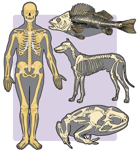 Vertebrate endoskeletons