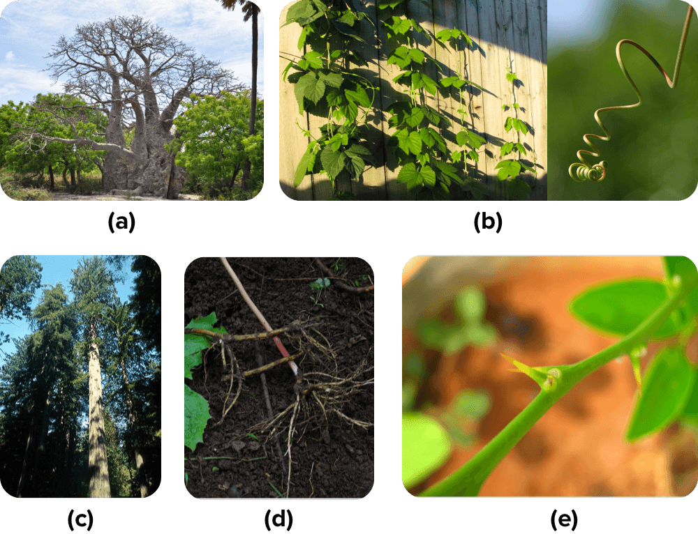 Stem specializations: Baobad, Redwood, Vines, Vine tendrils, Rhizomes, Thorns