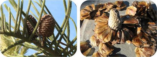 Gymnosperms produce seeds in cones, and each scale has a seed attached