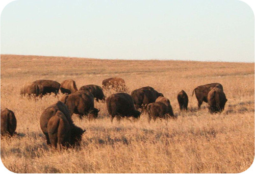 Herds of bison make up a part of the tallgrass prairie community