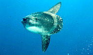 Here Comes The Sunfish