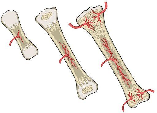 Crecimiento Y Desarrollo De Los Huesos Ck 12 Foundation