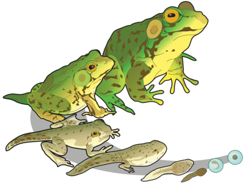 Frog development: from tadpole to adult