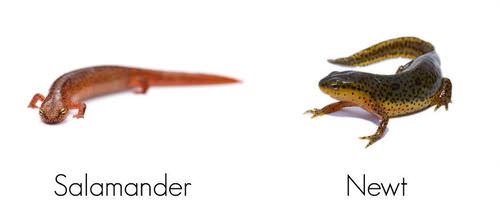Salamander and newt