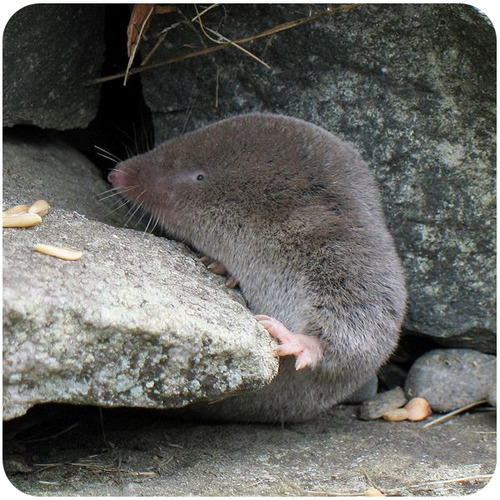 A shrew is an insectivore