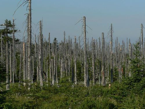 Acid fog and acid rain has killed all the trees in this forest