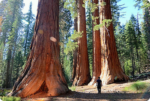 Enormous giant sequoia