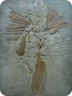 Fossil of Archeopteryx, the earliest known bird