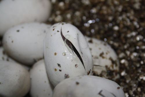 Amniotic eggs containing snake hatchlings