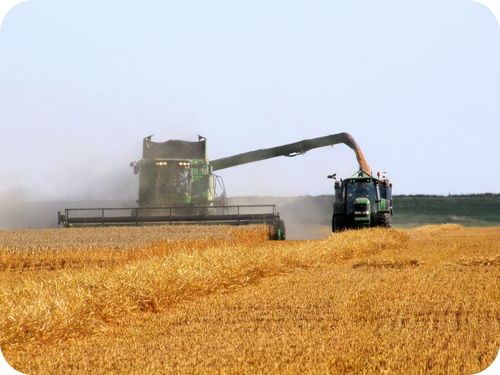 Combine harvester grinding plants to produce ethanol