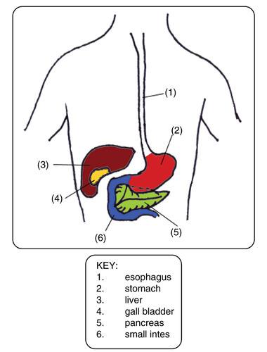 The Digestive System  Ck-12 Foundation-5481