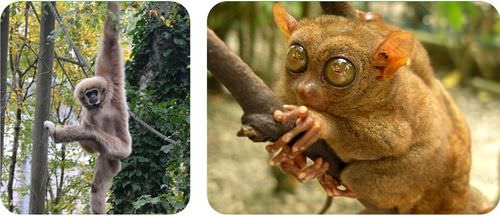 A gibbon and tarsier have evolved fingers for hanging on trees and branches
