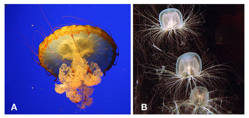 A Scyphozoan Jellyfish And B Cubozoan Box These Photographs Illustrate The Clear Difference In Body Shape Between True Jellies