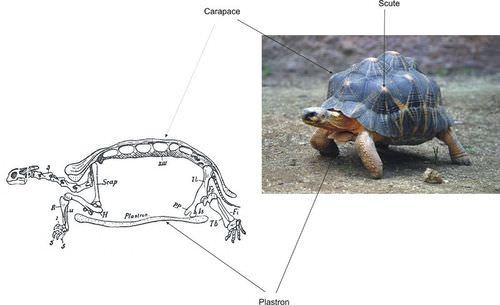 Turtles Read Biology Ck 12 Foundation