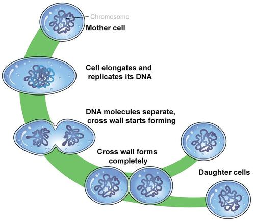 Binary fission in a prokaryotic cell
