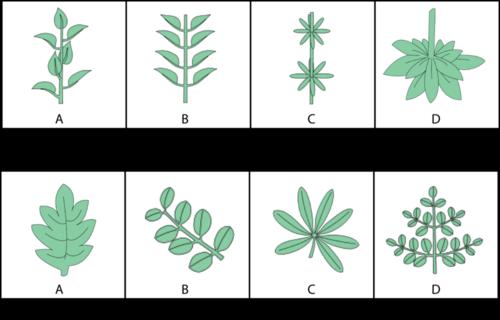 Leaf variation in flowering plants