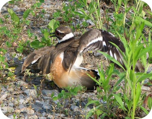 This mother killdeer is pretending she has a broken wing in order to protect her chicks